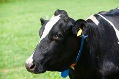 Mucca olandese Immagine Stock