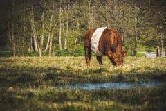 Mucca olandese immagini stock