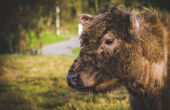 Mucca olandese fotografia stock