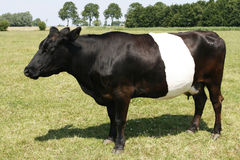 Mucca olandese unica di Lakenvelder Immagini Stock Libere da Diritti