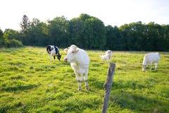 Mucca in pascolo Fotografia Stock