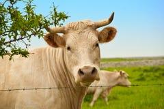 Mucca in pascolo Immagini Stock Libere da Diritti