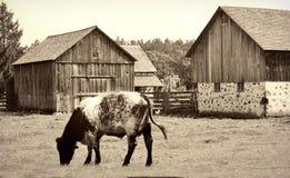 Mucca in pascolo con i granai Fotografia Stock