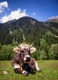 Mucca piacevole Immagine Stock