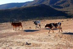 Mucca pigmea Salalah vicino - sultanato dell'Oman fotografia stock libera da diritti