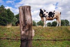 Mucca in Polonia Fotografia Stock Libera da Diritti