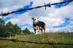 Mucca in Polonia Immagine Stock