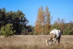 Mucca in Polonia Immagini Stock Libere da Diritti