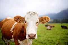 Mucca in prato europeo vicino al castello famoso il Neuschwanstein La Baviera, Germania Deutschland Immagine Stock