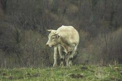 Mucca rasa nella montagna Immagini Stock