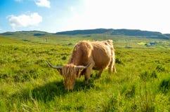 Mucca riccia Fotografia Stock Libera da Diritti