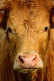 Mucca rossa Fotografia Stock Libera da Diritti