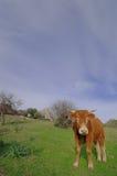 Mucca rossa Immagini Stock Libere da Diritti