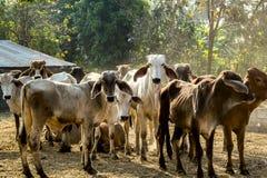 Mucca rossa Immagine Stock Libera da Diritti