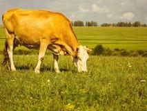 Mucca rossa che pasce su un prato verde fotografia stock