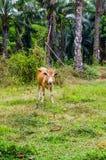 Mucca rossa che pasce in un villaggio tailandese fotografia stock
