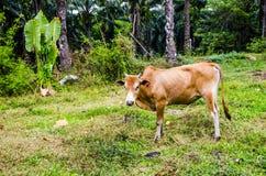 Mucca rossa che pasce in un villaggio tailandese fotografie stock