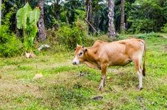 Mucca rossa che pasce in un villaggio tailandese Immagine Stock