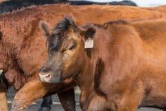 Mucca rossa del Angus Fotografia Stock Libera da Diritti
