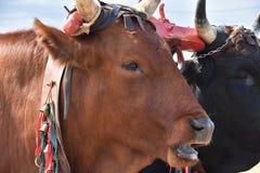 Mucca rossa italiana nell'azienda agricola rurale, giogo dei buoi nell'agricoltura biologica Fotografia Stock Libera da Diritti