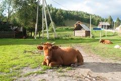 Mucca russa nel villaggio Fotografia Stock