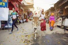Mucca santa che cammina liberamente in vie della città di Pushkar Fotografia Stock