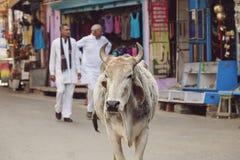 Mucca santa che cammina liberamente in vie della città di Pushkar Fotografie Stock Libere da Diritti