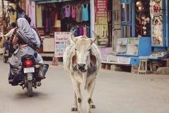 Mucca santa che cammina liberamente in vie della città di Pushkar Fotografia Stock Libera da Diritti