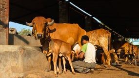 Mucca santa indiana Immagini Stock Libere da Diritti
