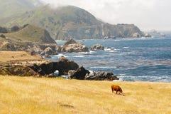 Mucca scenica della linea costiera che pasce Fotografie Stock
