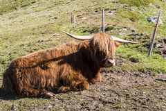 Mucca scozzese Fotografie Stock Libere da Diritti