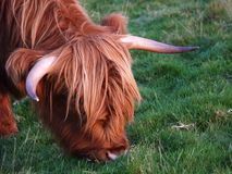 Mucca scozzese del higland immagini stock