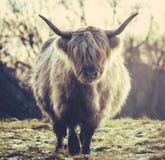 Mucca scozzese dell'altopiano Immagine Stock