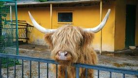 Mucca scozzese dell'altopiano stock footage