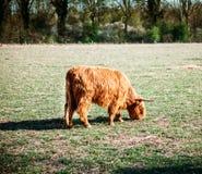 Mucca scozzese dell'altopiano Immagini Stock