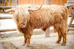 Mucca scozzese dell'altopiano Fotografia Stock