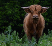 Mucca scozzese dell'altopiano Fotografia Stock Libera da Diritti