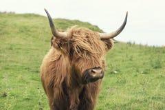 Mucca scozzese in erba verde Fotografia Stock