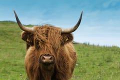 Mucca scozzese in erba verde Fotografia Stock Libera da Diritti