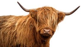 Mucca scozzese su fondo bianco immagini stock