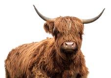 Mucca scozzese su un bianco Fotografia Stock Libera da Diritti