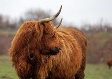 Mucca scozzese sul pascolo Fotografie Stock