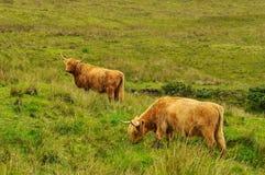 Mucca scozzese tipica Fotografia Stock Libera da Diritti
