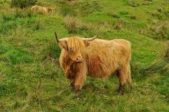 Mucca scozzese tipica Immagini Stock Libere da Diritti
