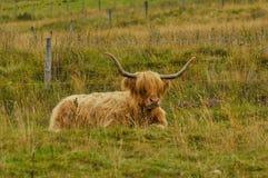Mucca scozzese tipica Fotografia Stock