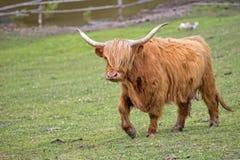 Mucca scozzese in uno schiarimento Fotografia Stock Libera da Diritti