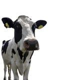 Mucca screziata dell'Holstein immagini stock libere da diritti