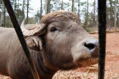 Mucca selvaggia Fotografie Stock