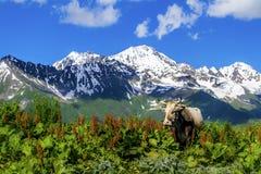 Mucca selvaggia nelle montagne Fotografie Stock Libere da Diritti