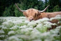 Mucca selvaggia in prato verde Fotografia Stock Libera da Diritti